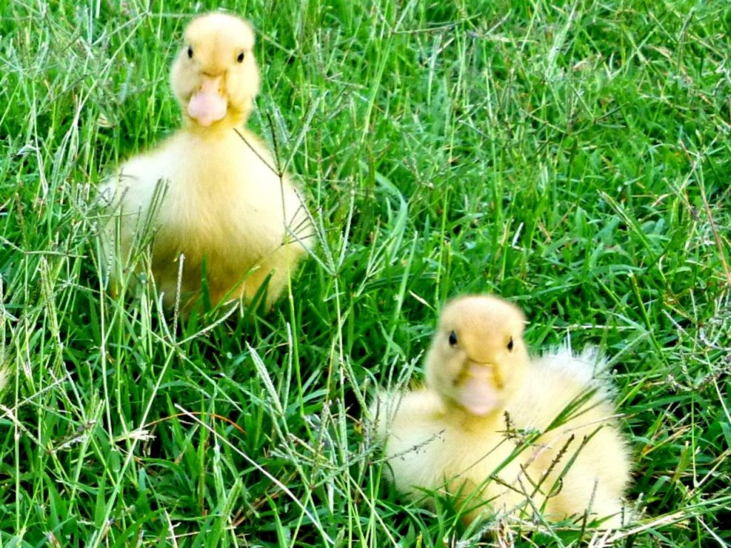 Tips to take care of ducklings